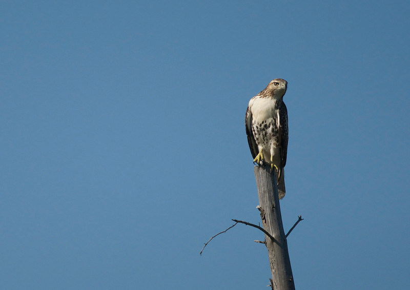 Upper Peninsula Hawk