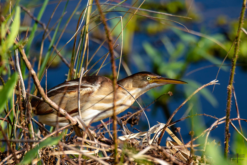 Least Bittern, Pin Tail Loupe Trail, Louisiana