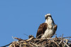 Osprey and Osprey Chick
