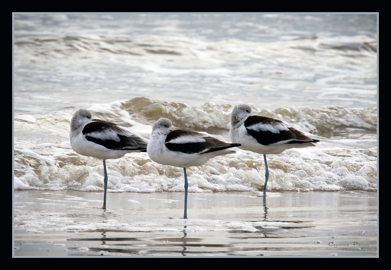 Avocets three !