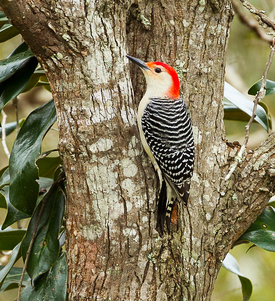 Red - bellied Woodpecker, Orange County, Texas