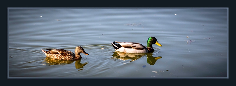 Male and Female Mallard pair