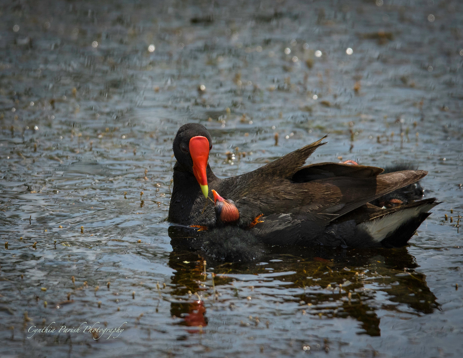 Gallinule with baby - Lagow Ranch - Chambers County - Texas