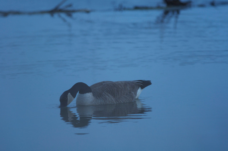 Early Morning Canadian Goose