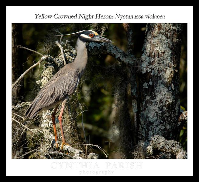 Yellow Crowned Night Heron: Nyctanassa violacea