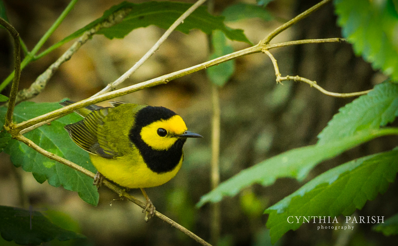 Hooded Warbler, Sabine Woods, Sabine Pass, Texas