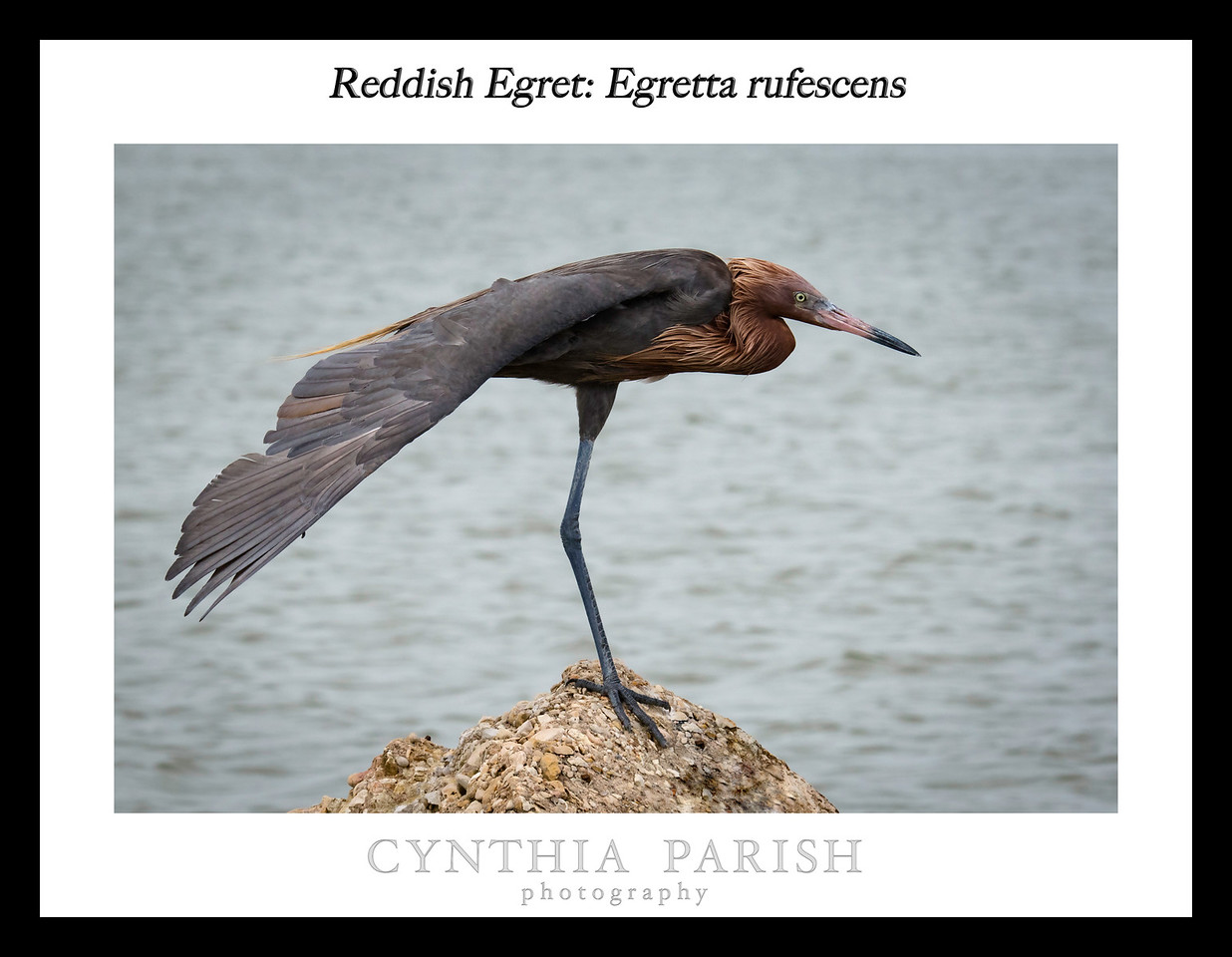 A medium to large heron of shallow salt water, the Reddish Egret comes in a dark and a white form. It is a very active forager, often seen running, jumping, and spinning in its pursuit of fish.  This image was taken on Galveston Island - 8 mile road - bay side.