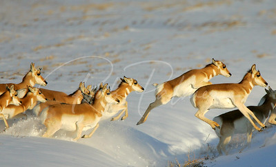Pronghorn Jumping