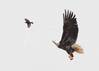 Eagle and the Starling I