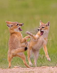 Swift Fox Kits playing.
