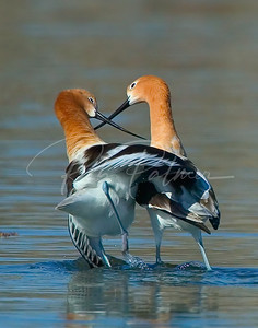 Mating Avocets:  2005 National Wildlife Winner; Birds Category.