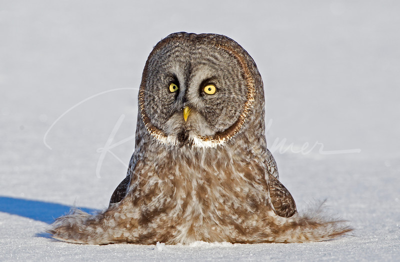 "Great Grey Owl or ""Cousin It's Cousin"" or ""Living Feather Duster"".  National Wildlife Magazine, February 2014, ""The last page"""