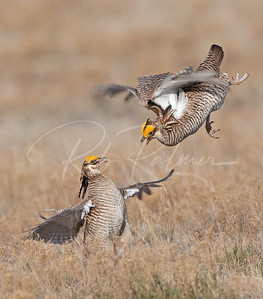 Battling Prairie Chickens