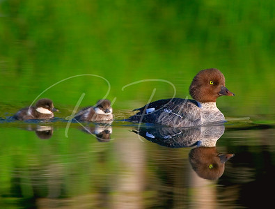 Goldeneye and Ducklings:  2005 Birders World Magazine, Water Birds Winner.