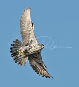 Grey Gyrfalcon:  Naturescapes.net Image of the Week.