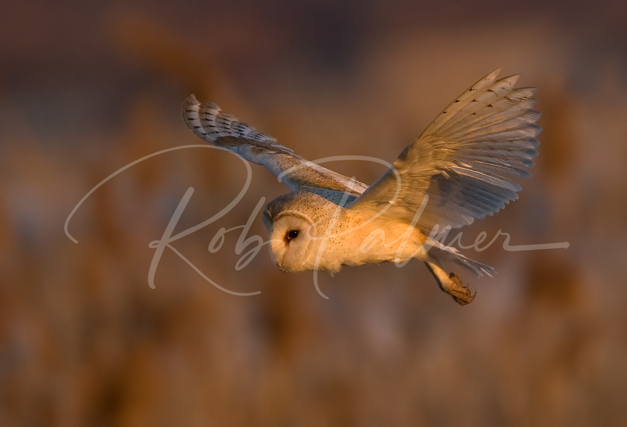 """Late Light Barn Owl """"Naturescapes.net image of the Week."""