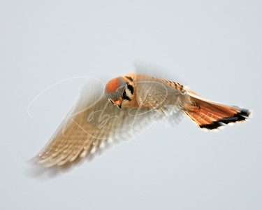 Hovering Kestrel:  2007 National Wildlife Magazine, Winner Birds Category.