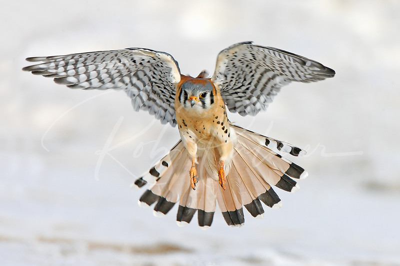 "Kestrel landing in snow""Cover of Birders World, October 2008."