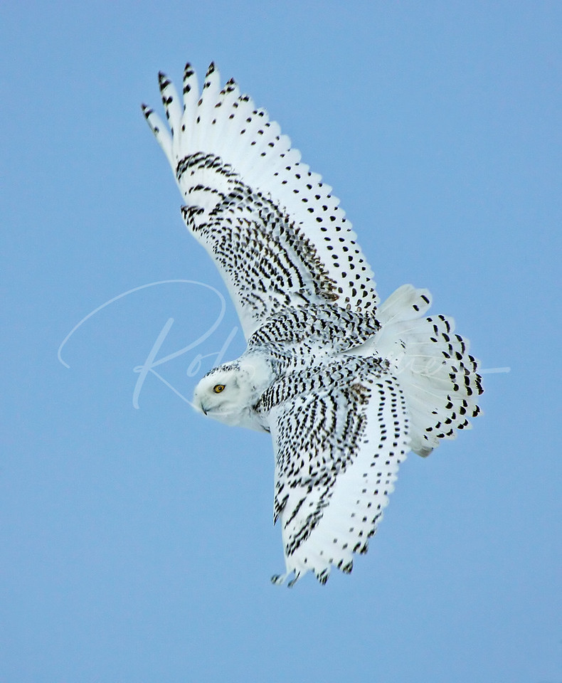 Snowy Owl:  Naturescapes.net Image of the Week.
