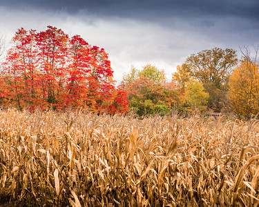 """Fall Foliage 08"" with corn field - 2012 - New Salisbury, Indiana"
