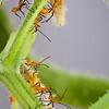Leaf-footed bug Nymphs, North Carolina Wildlife Magazine 1st place Inverterbrates 2010, Published in North Carolina Wildlife Magazine January 2011