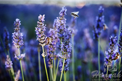 3rd PLACE WHITE RIBBON, Washington County Fair Photography Exhibition 2013  Class: Color Prints Lot:  Animals - Wildlife Description:  Honey bees on lavender flowers Location:  Jackson School Lavender, North Plains, Oregon  © Copyright Hannah Pastrana Prieto