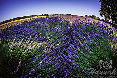 "Judges voted as ""BEST OF SHOW""; 1st PLACE BLUE RIBBON, Washington County Fair Photography Exhibition 2013  Class: Color Prints Lot: Landscape Description:  Fields of Scented Lavender Flowers  Location:  Jackson School Lavender, North Plains, Oregon  © Copyright Hannah Pastrana Prieto"