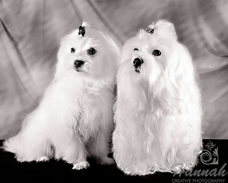 1st PLACE BLUE RIBBON, Washington County Fair Photography Exhibition 2014  Class:  Black and White Lot: Animals – Pets Description:  Close-up of a pair of Maltese dogs  © Copyright Hannah Pastrana Prieto