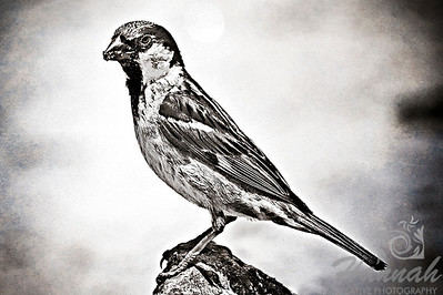 2nd PLACE RED RIBBON, Washington County Fair Photography Exhibition 2012  Class:   Black & White Lot:  Animals - Wildlife Description:  A monochrome photo of a wild male house sparrow shot at Glorietta Bay in San Diego, California  © Copyright Hannah Pastrana Prieto