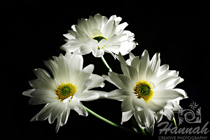 1st PLACE BLUE RIBBON, Washington County Fair Photography Exhibition 2013  Class: Color Prints Lot:  Still Life Description:  Arrangement of three white daisy flowers with black background  © Copyright Hannah Pastrana Prieto