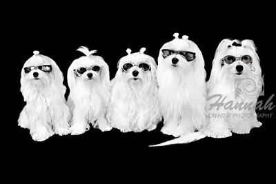 """""""Family of 5 Maltese"""""""