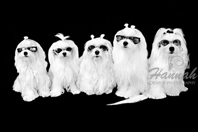 """Family of 5 Maltese"""