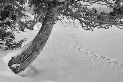 cedar and wolf tracks
