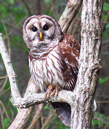 Barred Owl (4)