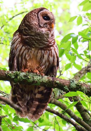 Barred Owl (2)