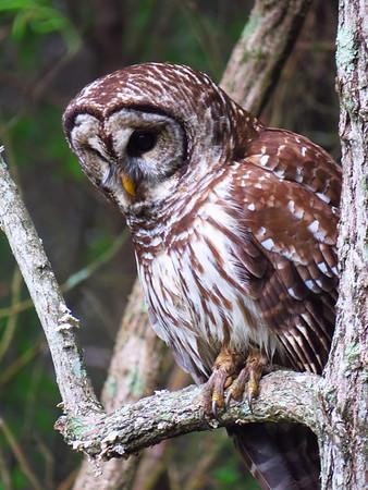 Barred Owl (5)