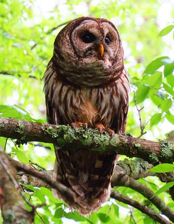 Barred Owl (1)