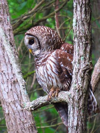 Barred Owl (6)
