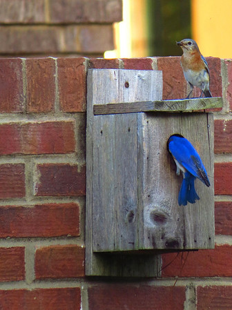 Bluebird (3)