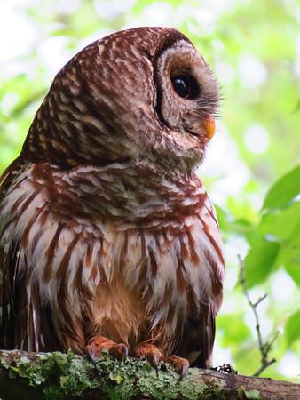 Barred Owl (3)