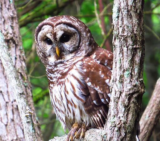 Barred Owl (7)