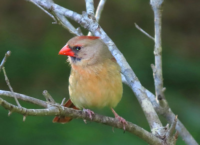 American Cardinal-female (2)