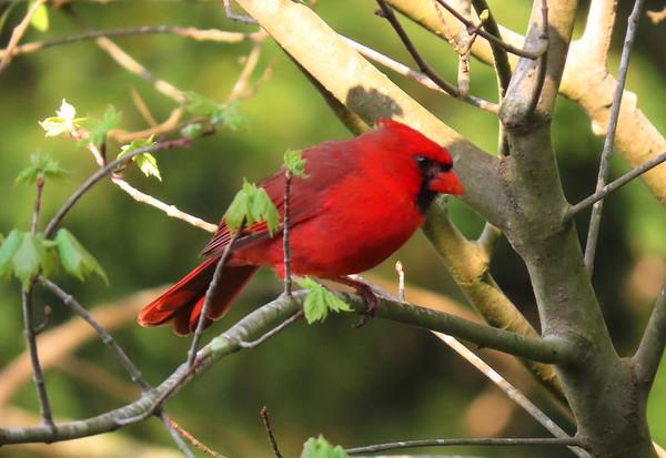 American Cardinal-male (3)