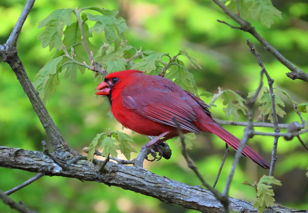 American Cardinal-male (2)
