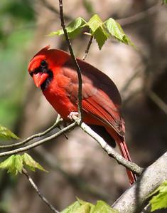 American Cardinal-male (5)