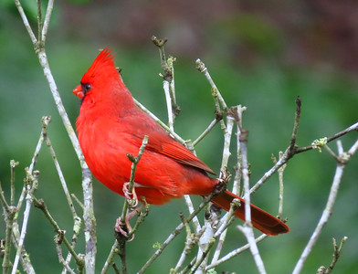 American Cardinal-male (4)