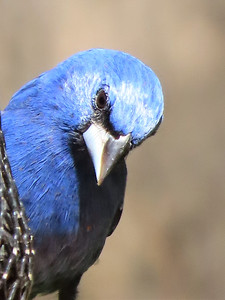 Blue Grosbeak (3)