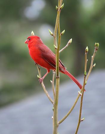 American Cardinal-male (1)