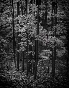 Maple Trees, Autumn |Mt. Airy, NJ