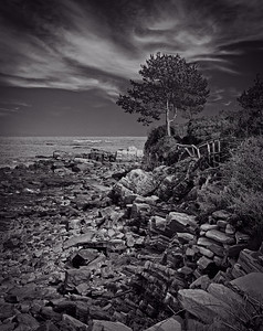 Winslow's Tree |Prouts Neck, ME